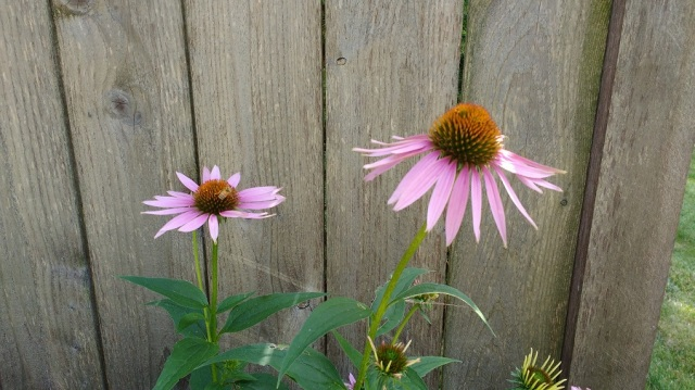 Coneflowers folks July 2016 01