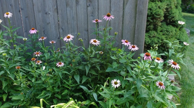 Coneflowers folks July 2016 02